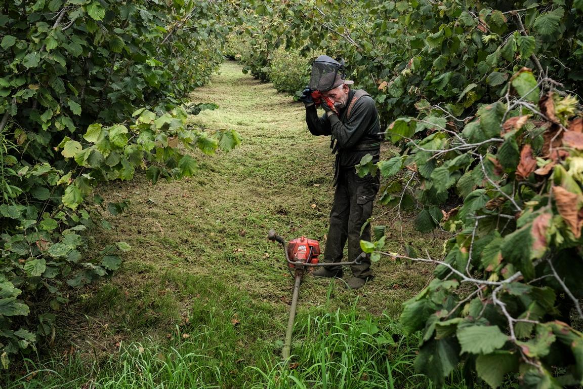 <p>Прибиране на реколтата от лешници</p>