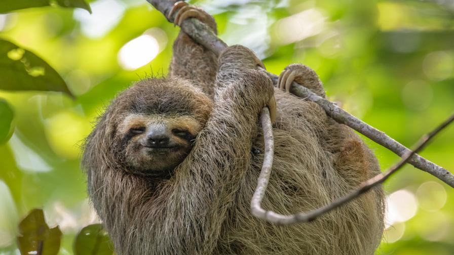 Изумителните ленивци - защо са застрашени