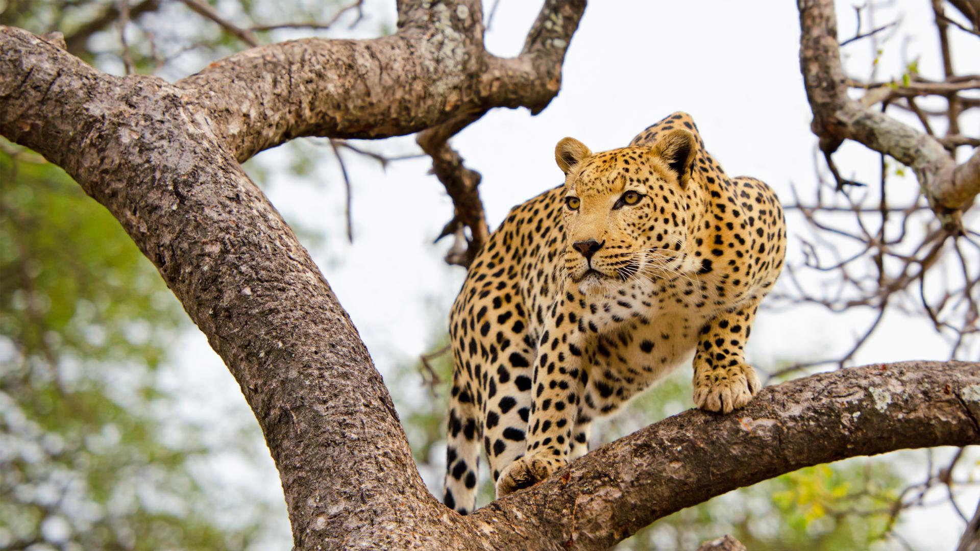 Земята за леопарда - последното убежище за най-застрашените големи котки в света