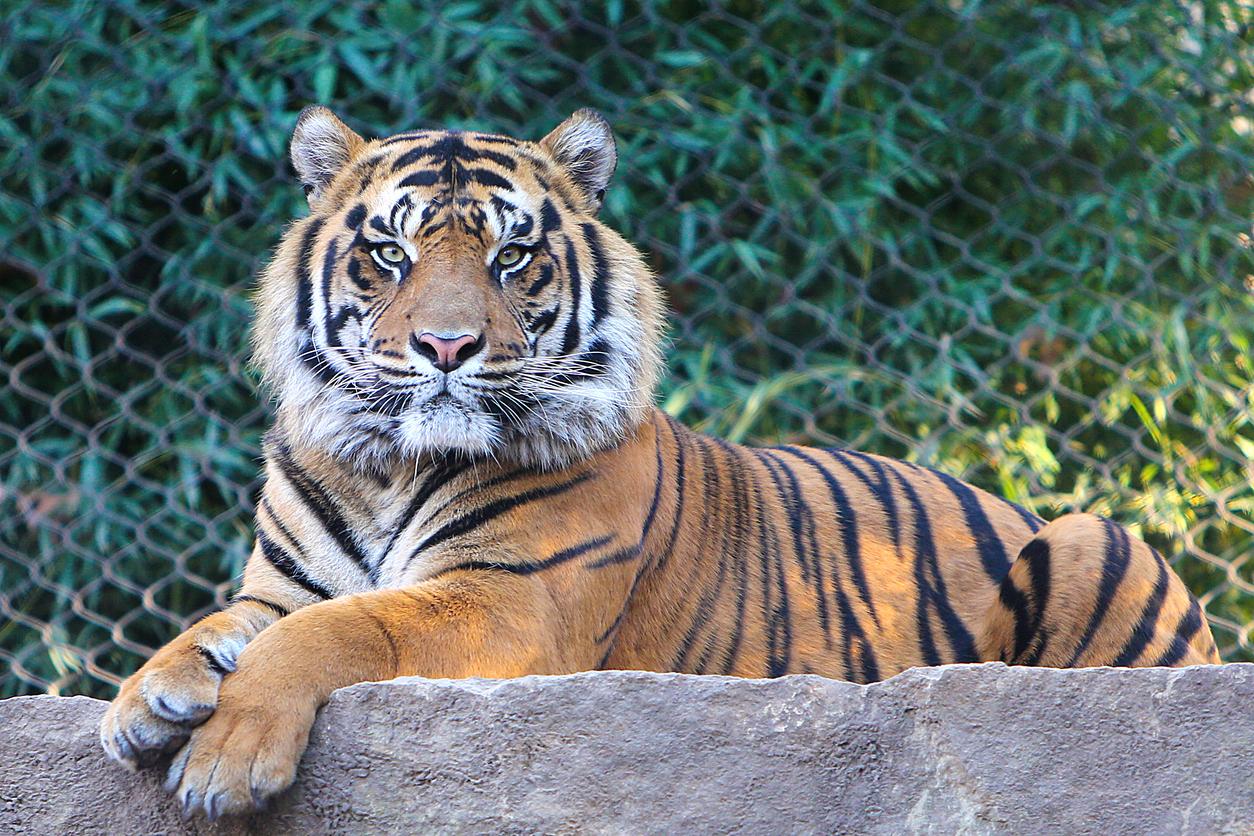 <p>6. Тигри е имало преди 2 милиона години.</p>  <p>Но, благодарение на хората, тигрите сега са застрашени. За последните 150 години местообитанието на тигрите е намаляло с 95 на сто и се смята, че в дивата природа са останали едва 3900 екземпляра.</p>