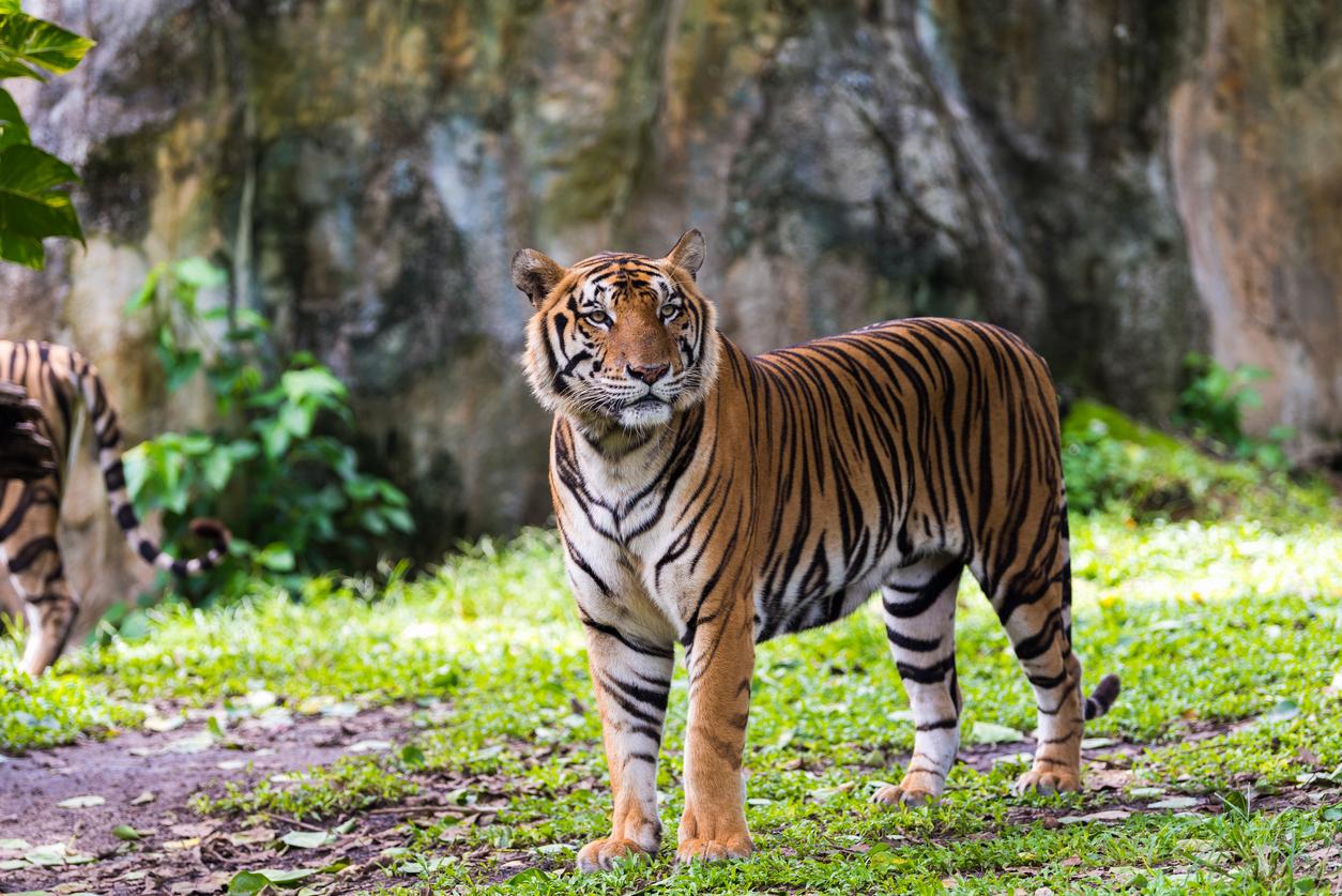 <p>4. Едно основно хранене на седмица</p>  <p>Основната плячка на тигрите са елените, но те също така ловуват диви свине. За тигрите само едно на всички десет ловувания е успешено, а голям елен може да осигури на тигъра храна за една седмица.</p>