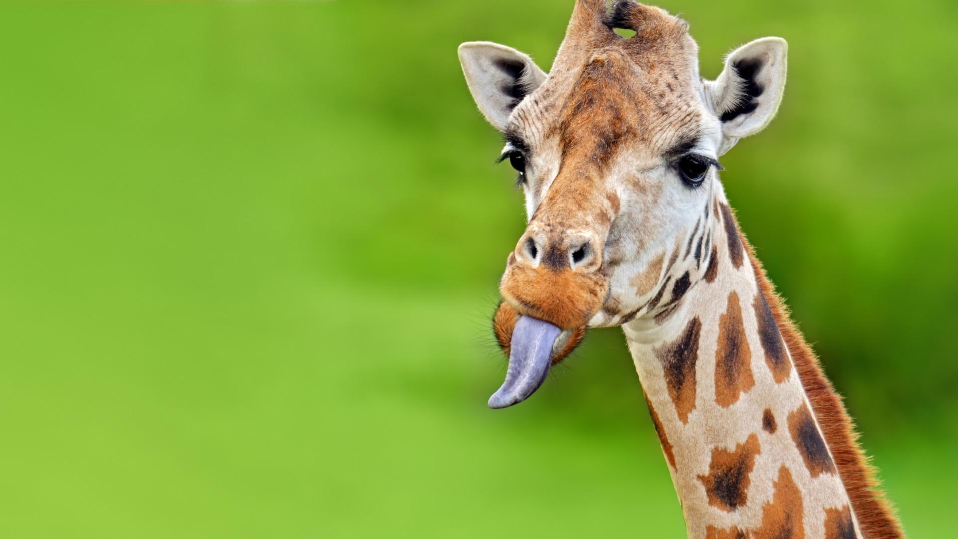 <p><strong>Лилав език</strong></p>  <p>Езикът на жирафа не само е дълъг и дебел, но и на цвят е в лилаво и черно. Това вероятно се дължи на допълнителния меланин, присъстващ в устните органи на жирафите. Меланинът действа като естествен слънцезащитен крем и помага за защита на езика, който се използва през целия ден за събиране на растения и листа.</p>