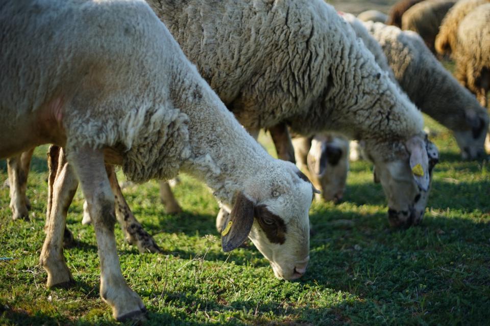 овце овца агне стадо Гергьовден