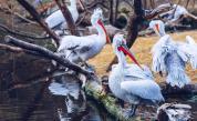 Къдроглав пеликан – спасен и спасител в Черна гора