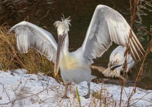 Как пеликани помагат на туризма в Черна гора