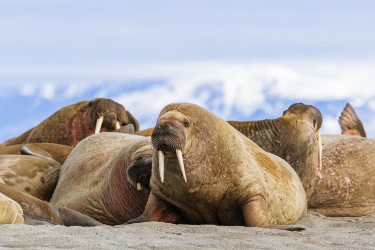 моржове