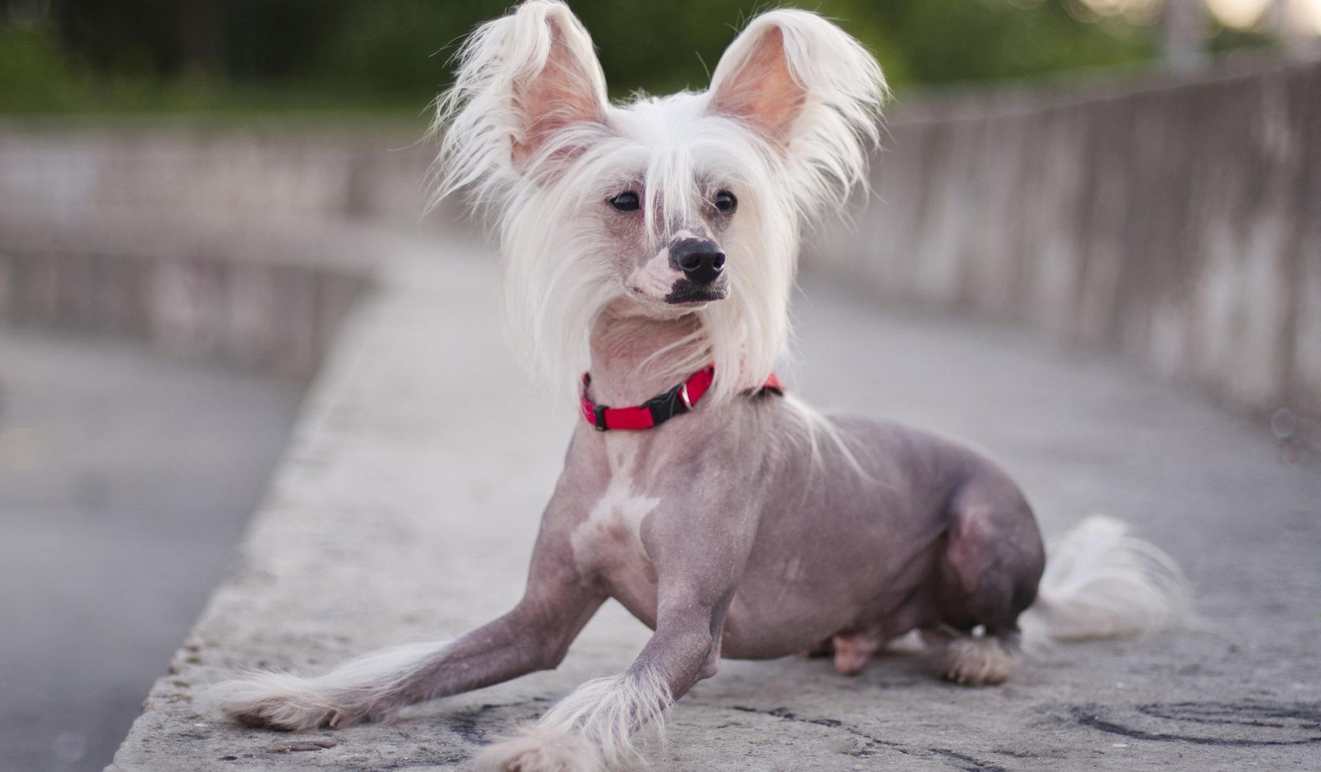 <p><strong>Китайско качулато куче</strong></p>  <p>Представители на тази порода често печелят конкурси за най-грозно куче, но това куче без козина струва скъпо - минимум 5000 долара. То е с много екзотичен вид - малки размери и само един пласт козина.</p>