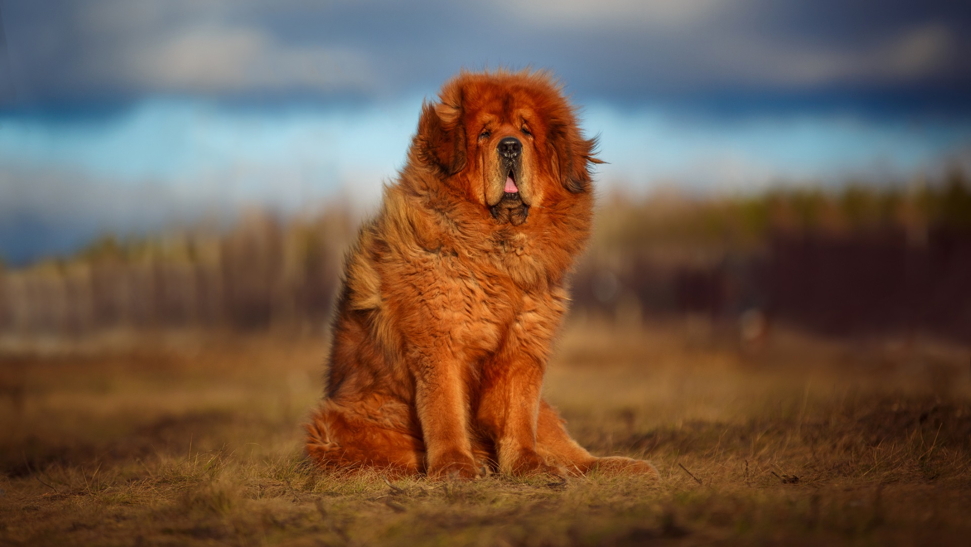 <p><strong>Тибетски мастиф</strong></p>  <p>Това е скъпа порода около 5000 &ndash; 9000 долара. Въпреки че едно от тези кучета влезе в историята, като беше продадено за 2 млн. долара в Китай, все още не е най-скъпата порода кучета. Това е куче пазител на стадото в повечето части на света и затова често спи през деня, за да бъде по-бдително през нощта.</p>