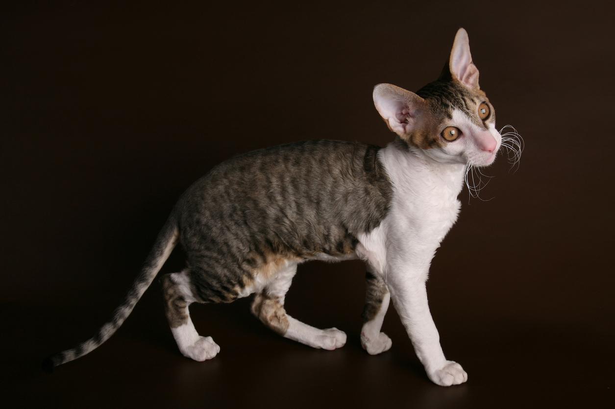 <p><strong>Корниш рекс -&nbsp;</strong>Представителите на тази порода котки са изключително екзотични и за някои хора дори странни.&nbsp; Котките Корниш Рекс са активни и дружелюбни любимци. Много умни и активни животни.&nbsp;<br /> Котките от тази порода лесно се поддават на възпитание, лесно може да бъдат научени на команди, но не очаквайте да изпълняват всяка ваша команда безпрекословно.</p>