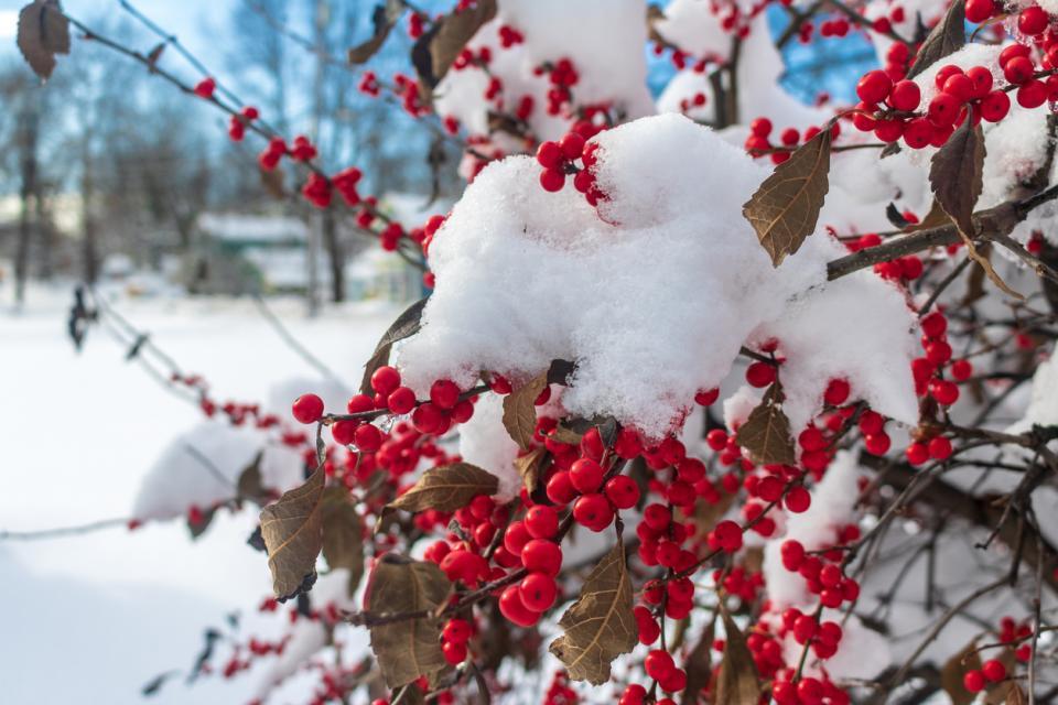 джел храст плод зима сняг Коледа