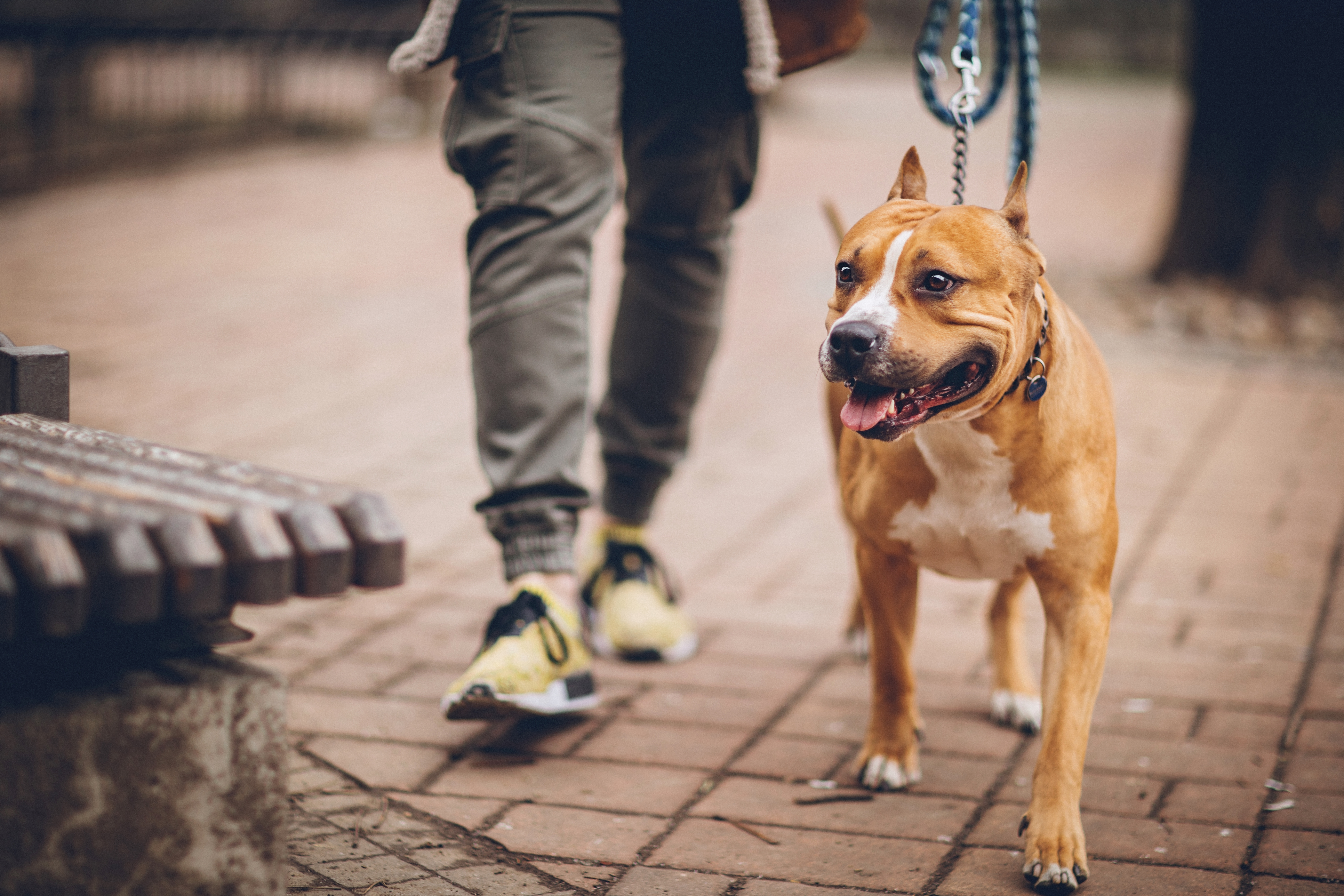 <p><strong>Питбул</strong></p>  <p>Безспорно тази порода кучета е смятана от мнозина за най-опасната. Лошата им слава се основава на многобройните инциденти с тях. Както и при останалите кучета, основен виновник за поведението на тази порода са стопаните, които често умишлено ги обучават да бъдат агресивни . Питбулите все още се използват за кучешки боеве заради мощта на захапката си и издръжливостта.</p>
