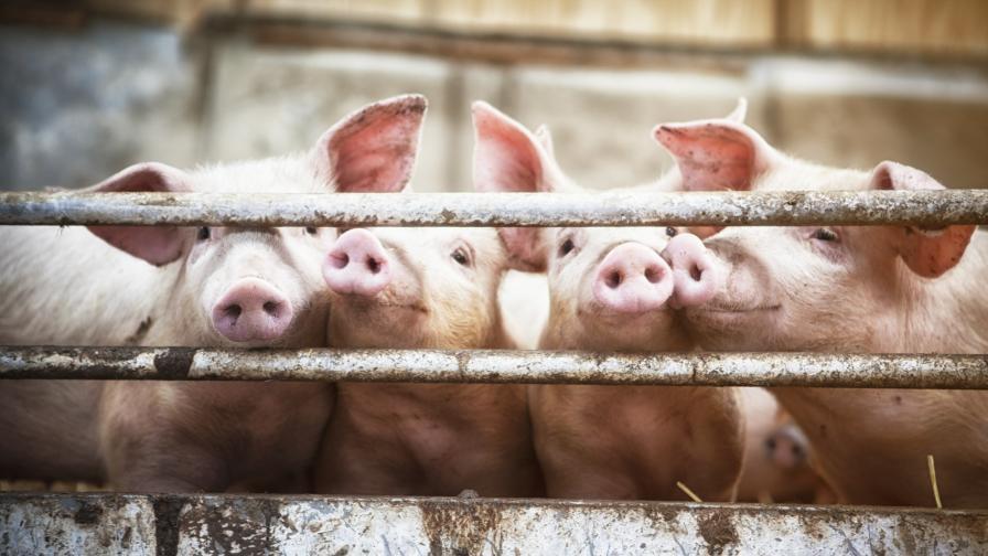 <p>Плъхове, прасета и пилета - ключът към справяне с COVID-19</p>