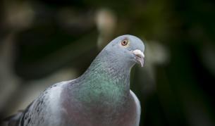 В Австралия ще евтаназират гълъб, долетял от САЩ