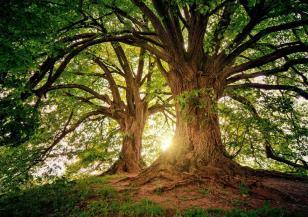 Дърво на 450 г. е победител в конкурса