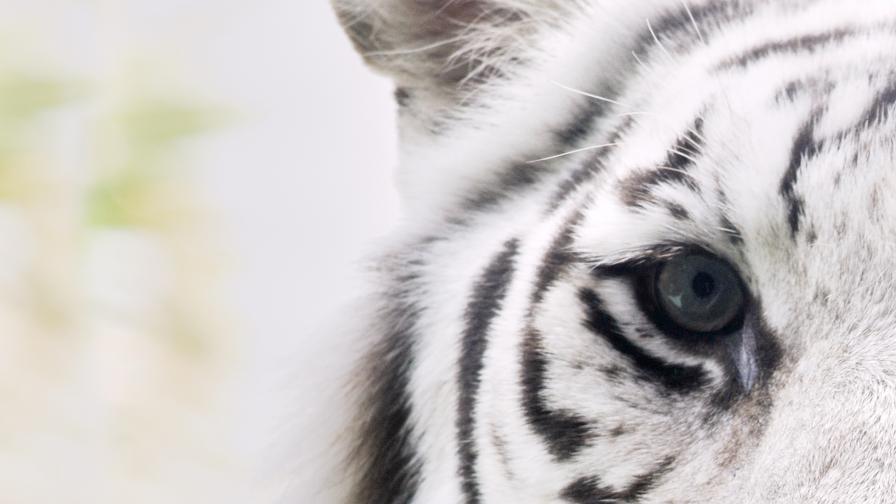 Тигри от зоопарк разкъсаха човек