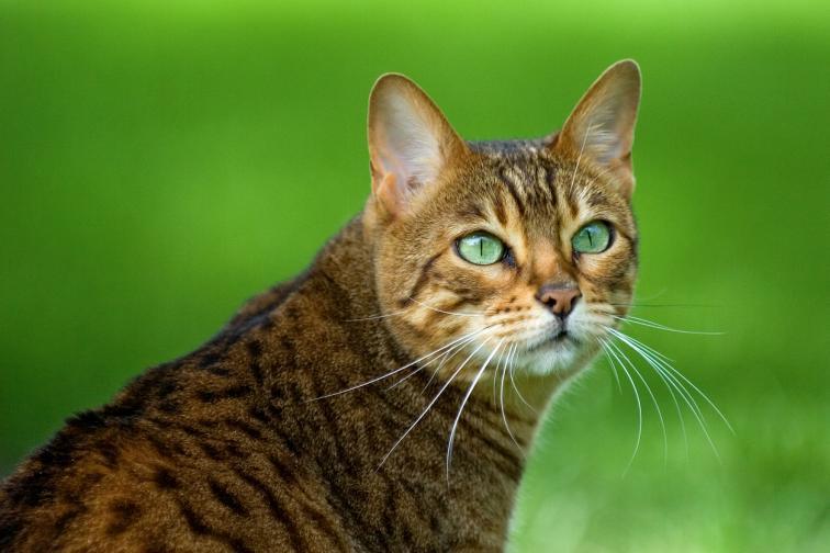 бенгалска котка