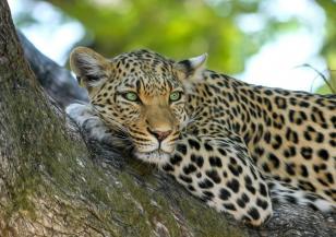 Леопардът с нефритения поглед