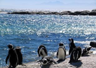 Нова опасност грози малките пингвини
