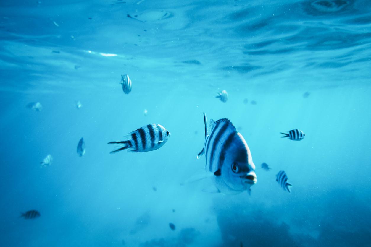 <p><strong>Рибите могат да имат емоции -&nbsp;</strong>Международна група учени доказват, че рибата може да реагира емоционално на някои фактори на околната среда. По време на изследването учените излагат рибите на някои фактори на стрес и измерват нивата на хормоните им.<br /> &nbsp;</p>