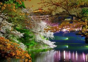 Започна цъфтежът на прочутите вишни сакура в Япония