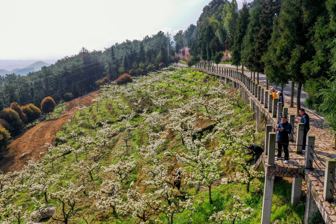 <p>Посетители разглеждат и се снимат сред цъфнали крушови дръвчета в град Чижу, област Юбей, югозападната китайска община Чунцин</p>