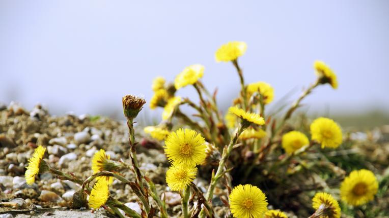 Тези билки пречистват дихателните пътища