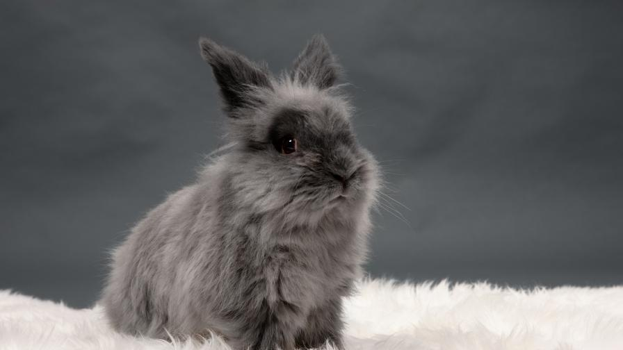 Това е едно от най-милите и пухкави декоративни зайчета