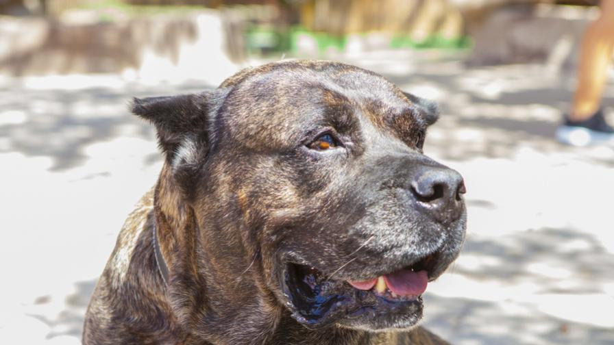 8 породи кучета, които са забранени