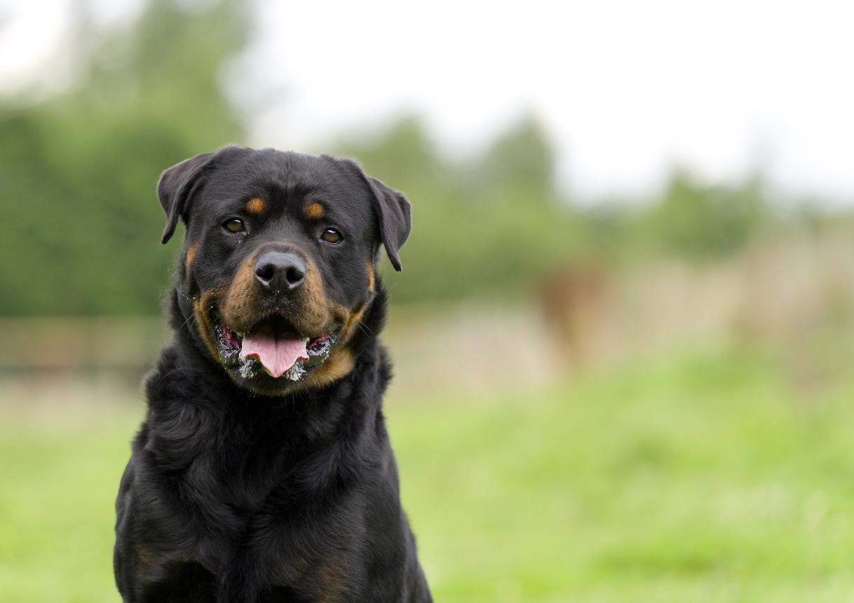 <p><strong>Ротвайлер </strong>- Характеристики: Сигурни кучета пазачи, ротвайлерите се използват при спасителни операции, полицейски акции и като охранители на стада и добитък. Страни с рестрикции към породата: 10</p>
