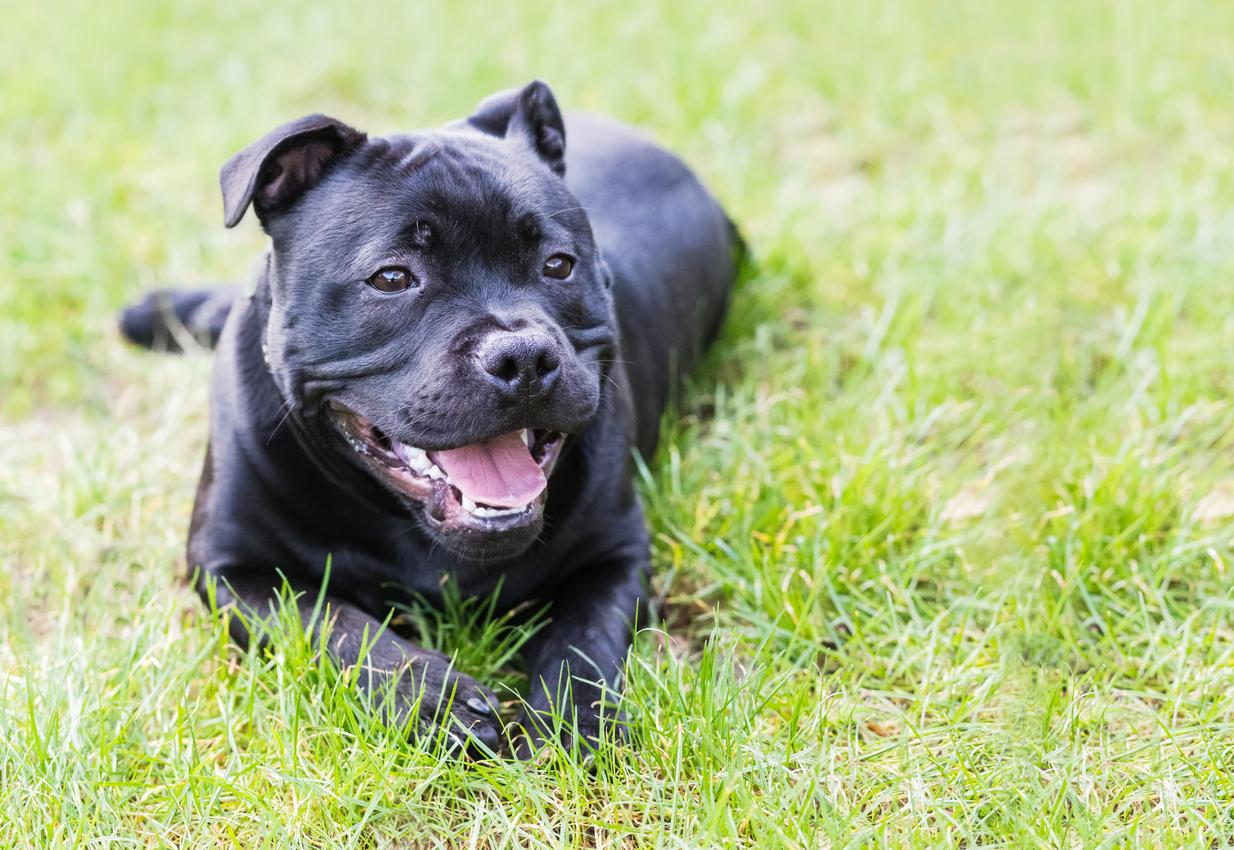 <p><strong>Стафордширски бултериер</strong> - Характеристики: Една от породите, използвани при борба с кучета, но същевременно са препоръчвани като идеални семейни кучета. Страни с рестрикции към породата: 12</p>