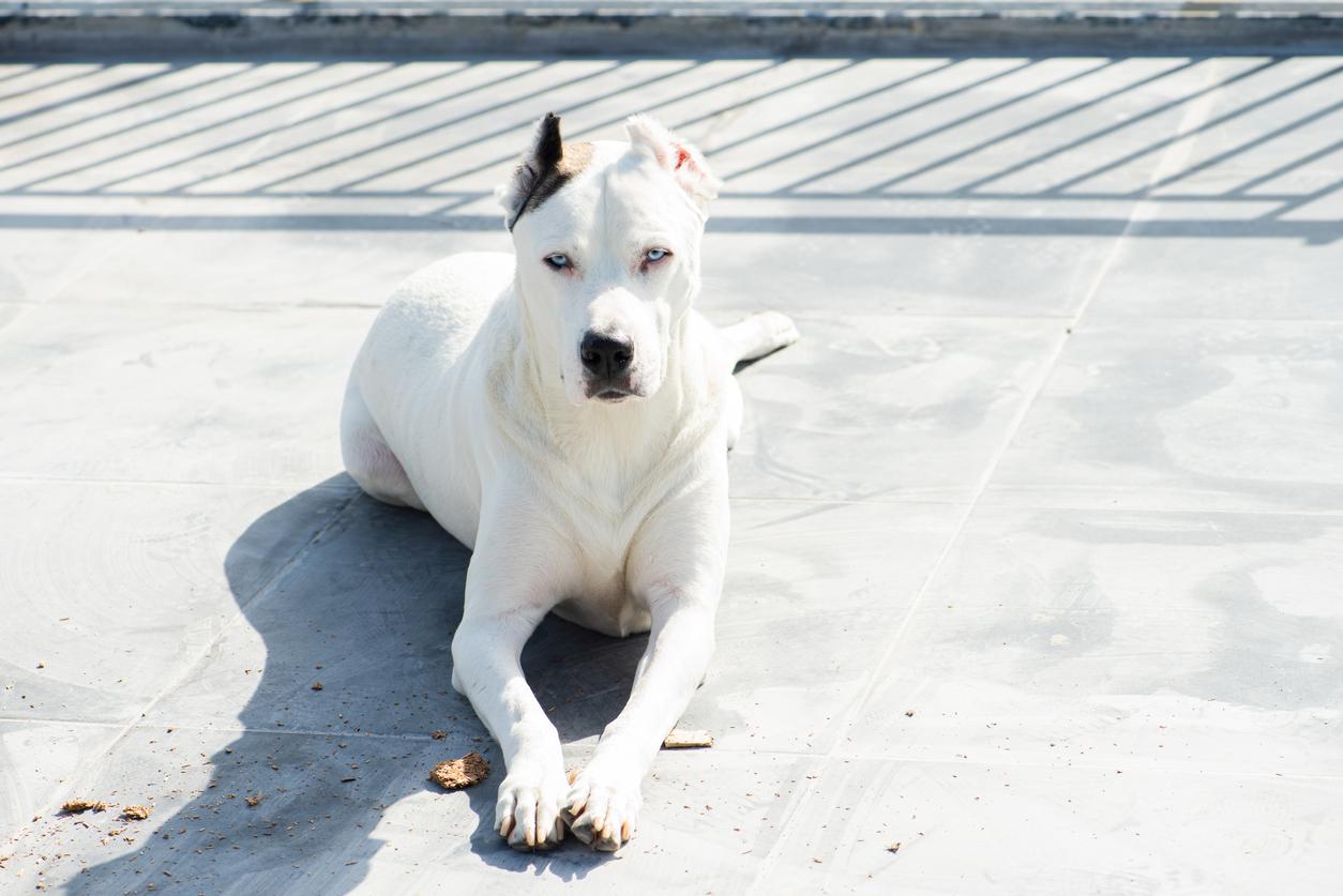 <p><strong>Дого Аржентино</strong>&nbsp;- Характеристики: Аржентинска порода кучета, известна с добрите си ловни способности, използвани като кучета пазачи и изключително привързани към стопаните си. Страни с рестрикции към породата: 18</p>