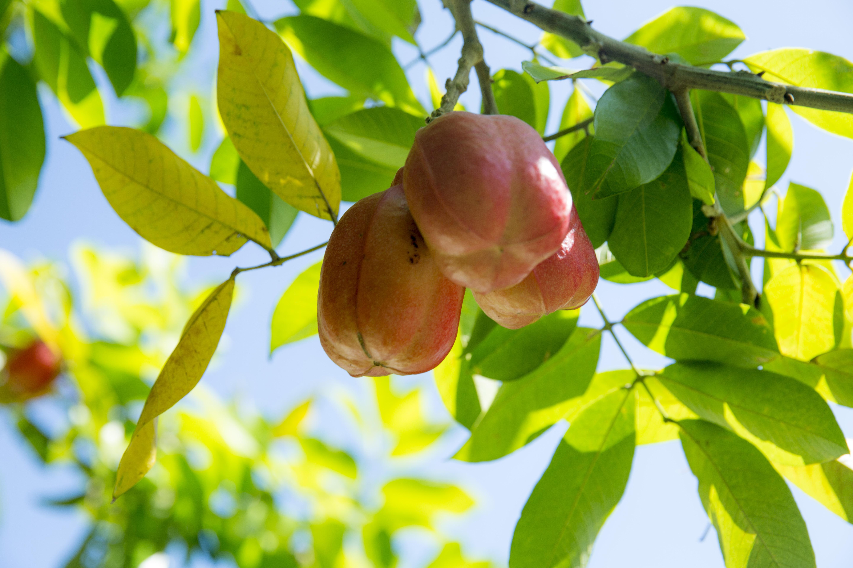 <p><strong>Аки /Ackee fruit/</strong></p>  <p>Ямайски национален плод, който съдържа хипоглицин, силно токсична отрова. Важно е да се знае, че плодовете могат да се ядат само, ако са напълно узрели, те трябва да се отворят естествено и тогава да се берат от дървото. Консумира се само месестата кремава част около семената, не се яде нищо от семената или розовата част на плода, защото са изключително токсични. Плодът може да доведе до сериозно заболяване, кома или смърт.</p>