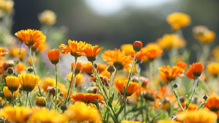 Тези билки помагат при слънчево изгаряне