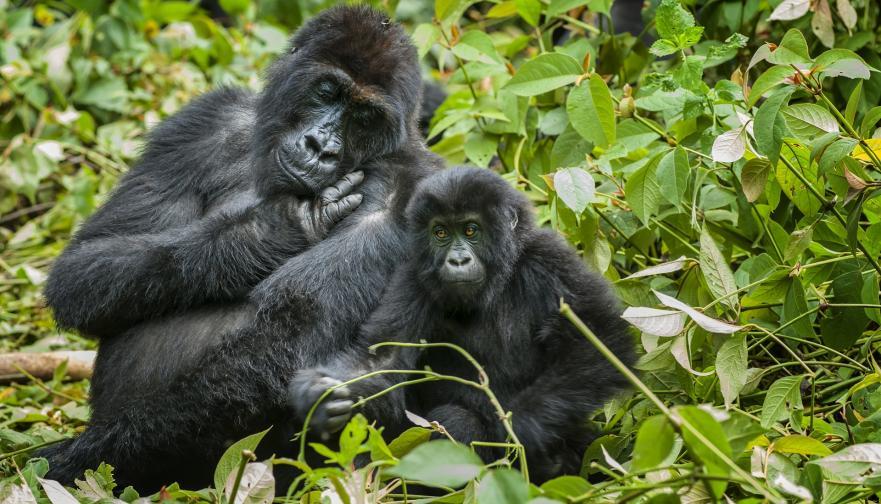 Източната низинна горила или горилата на Грауер