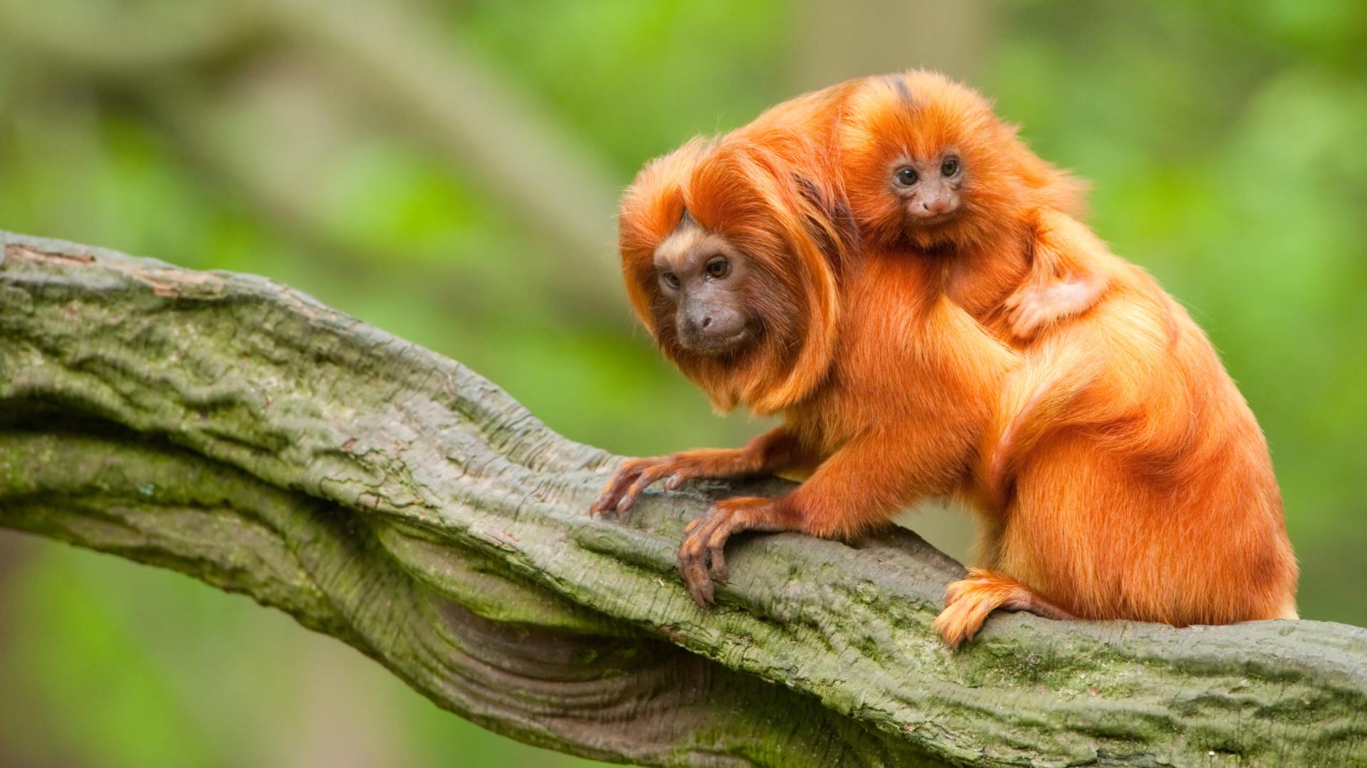 <p><strong>Тамарин &ndash; шведска тройка</strong></p>  <p>Семействата на маймуните тамарин могат да се различават по структурата си, но най-често са от двама мъжки и една женска. Тъй като мъжете се грижат за бебетата, а женската обикновена ражда близнаци, всеки мъжки се грижи за едно бебе.</p>