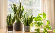 Домашни растения, които могат да ни разболеят