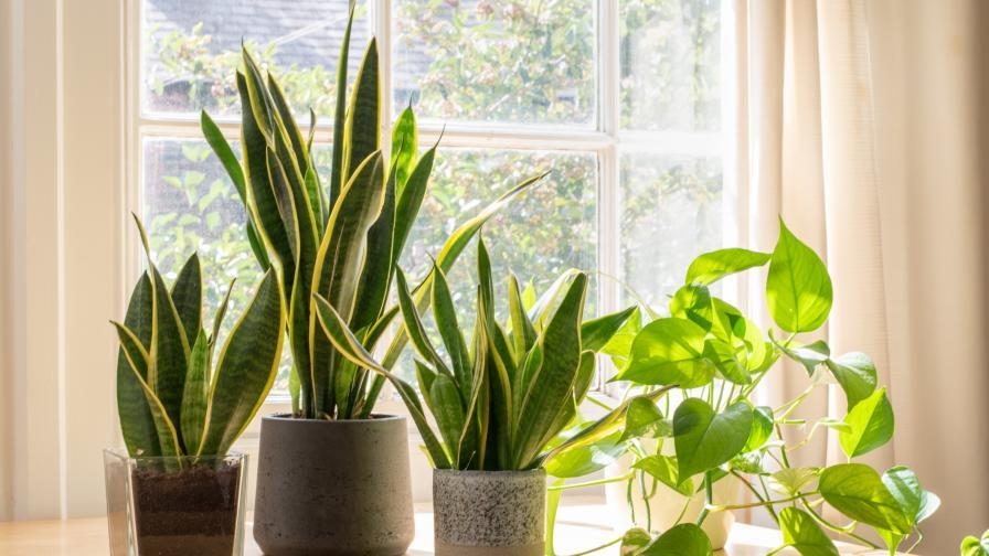 <p>Домашни растения, които могат да ни разболеят</p>