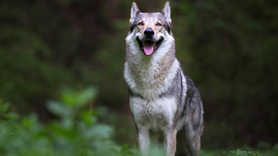 Чехословашки вълчак