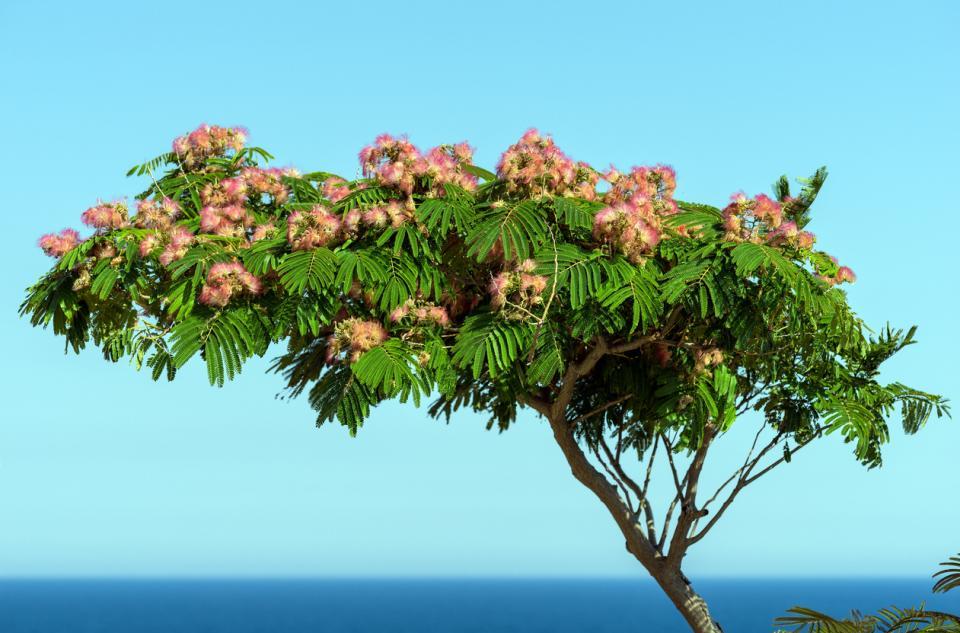 албиция дърво цвят