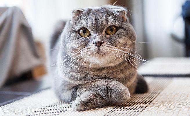 Шотландските клепоухи котки са изключително социални, игриви и дружелюбни
