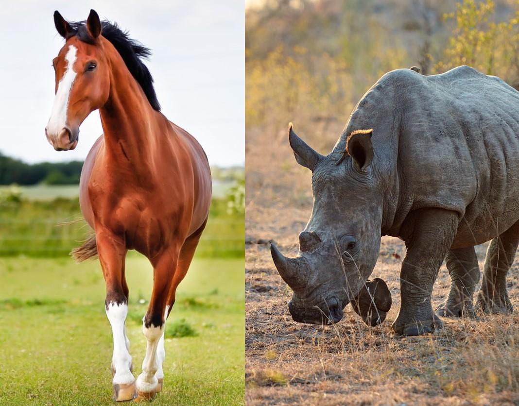 <p>Колкото и странно да звучи<strong> конете и носорозите</strong> са част от едно семейство - Нечифтокопитни. Преди няколко години бяха открити вкаменелости от изчезналия вид Cambaytherium в Индия. Характеристиките му са близки до тези на тапира, заради което се смята, че това същество е свързано с всички живи нечифтокопитни.</p>