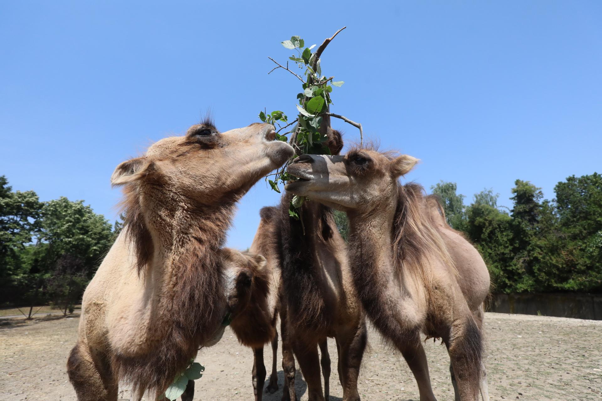 <p>Четири нови двугърби камили в столичния зоопарк</p>