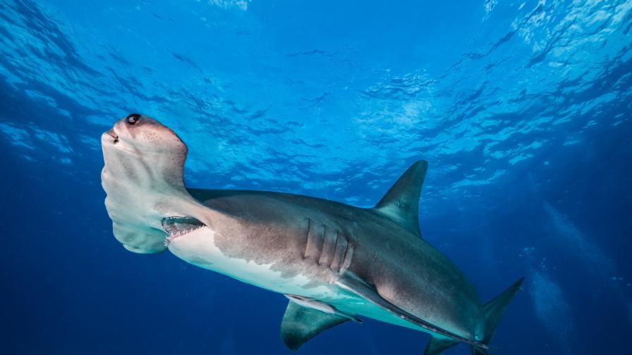 Жена хвана огромна акула с въдица от пикапа си