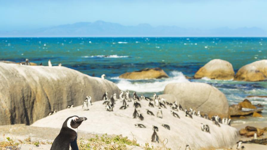 Рояк пчели уби 63 пингвина