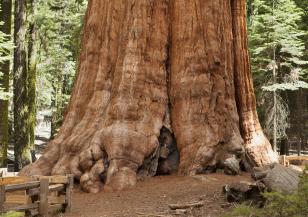 Кое е най-дебелото дърво в България?