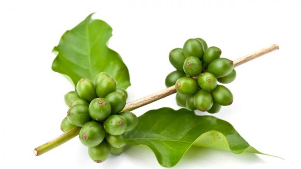 Зеленото кафе всъщност не е нищо повече от неизпечени кафеени зърна