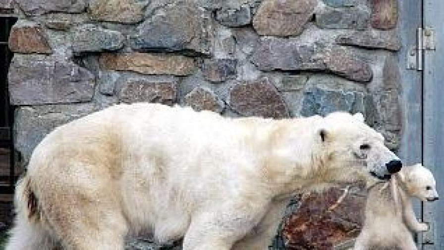 Сладката бяла мечка става опасен нападател, ако някои застраши малките й.