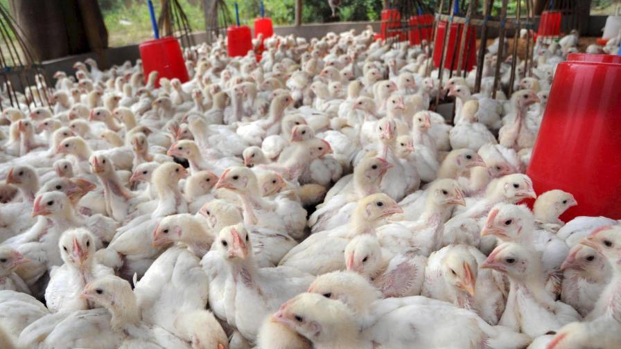 Изял 42 Петровски пилета