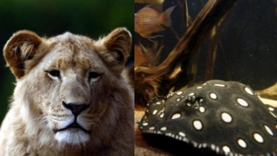 Производителите вече имат поръчки за лещи на лъвица от Австралия и морска котка от САЩ