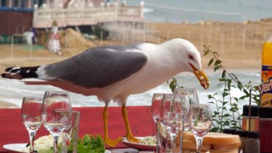 Дори гларусите по нашето Черноморие обичат шопската салата